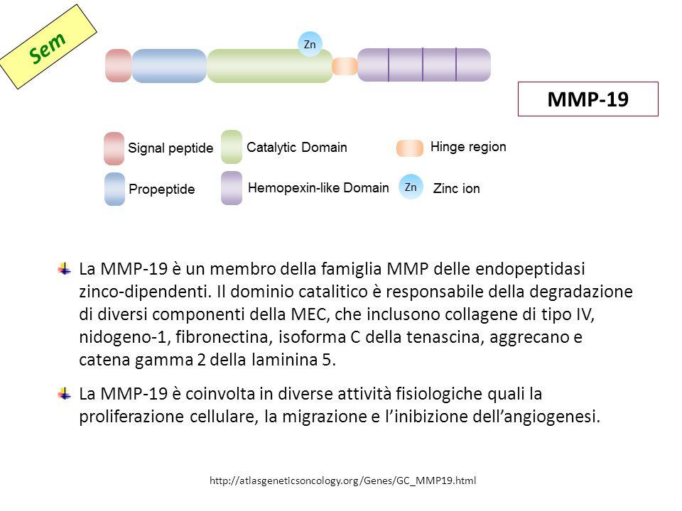 MMP-19 La MMP-19 è un membro della famiglia MMP delle endopeptidasi zinco-dipendenti.