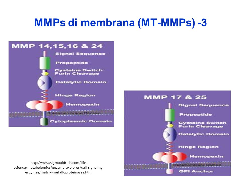 MMPs di membrana (MT-MMPs) -3 http://www.sigmaaldrich.com/life- science/metabolomics/enzyme-explorer/cell-signaling- enzymes/matrix-metalloproteinases