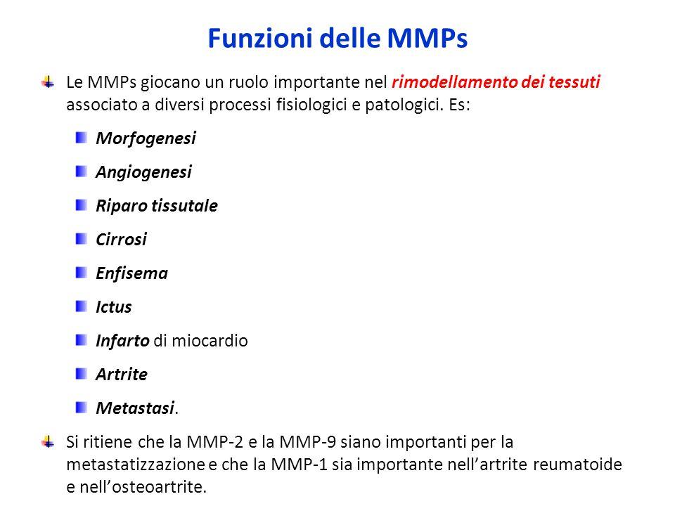 Funzioni delle MMPs Le MMPs giocano un ruolo importante nel rimodellamento dei tessuti associato a diversi processi fisiologici e patologici.