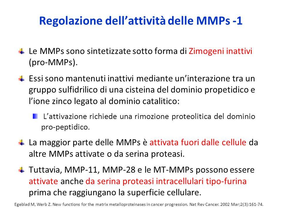 Regolazione dell'attività delle MMPs -1 Le MMPs sono sintetizzate sotto forma di Zimogeni inattivi (pro-MMPs).