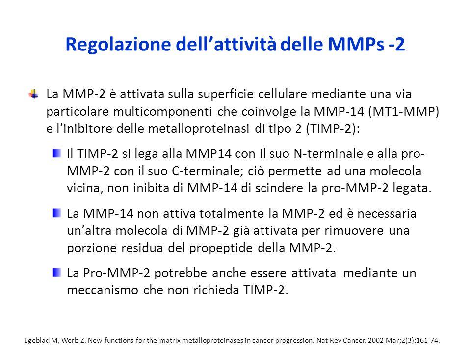 Regolazione dell'attività delle MMPs -2 La MMP-2 è attivata sulla superficie cellulare mediante una via particolare multicomponenti che coinvolge la MMP-14 (MT1-MMP) e l'inibitore delle metalloproteinasi di tipo 2 (TIMP-2): Il TIMP-2 si lega alla MMP14 con il suo N-terminale e alla pro- MMP-2 con il suo C-terminale; ciò permette ad una molecola vicina, non inibita di MMP-14 di scindere la pro-MMP-2 legata.
