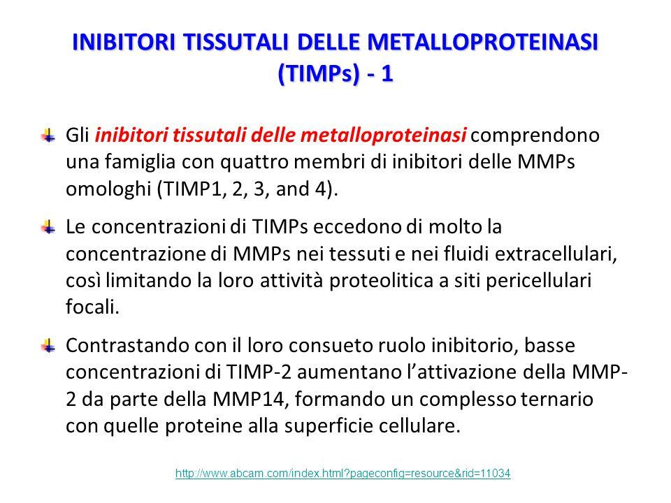 INIBITORI TISSUTALI DELLE METALLOPROTEINASI (TIMPs) - 1 Gli inibitori tissutali delle metalloproteinasi comprendono una famiglia con quattro membri di inibitori delle MMPs omologhi (TIMP1, 2, 3, and 4).
