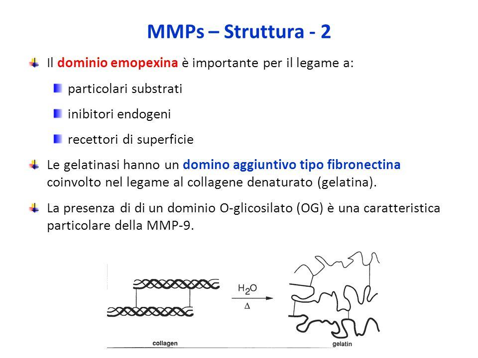 MMPs – Struttura - 2 Il dominio emopexina è importante per il legame a: particolari substrati inibitori endogeni recettori di superficie Le gelatinasi hanno un domino aggiuntivo tipo fibronectina coinvolto nel legame al collagene denaturato (gelatina).
