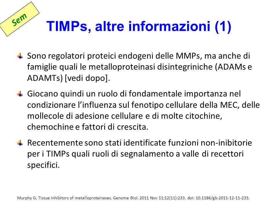 TIMPs, altre informazioni (1) Sono regolatori proteici endogeni delle MMPs, ma anche di famiglie quali le metalloproteinasi disintegriniche (ADAMs e ADAMTs) [vedi dopo].