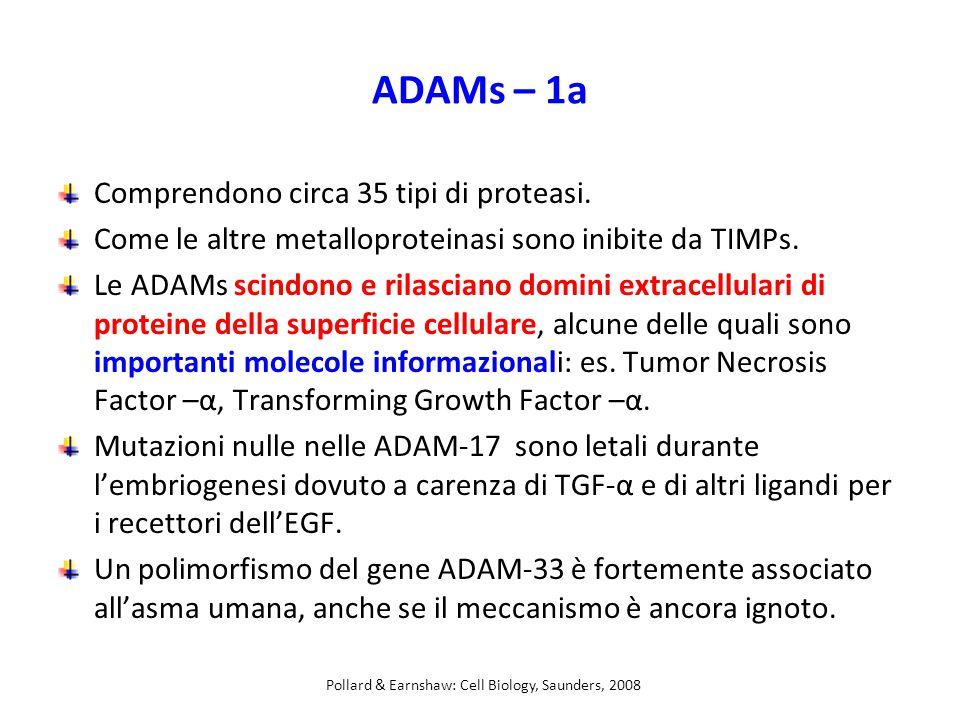 ADAMs – 1a Comprendono circa 35 tipi di proteasi.