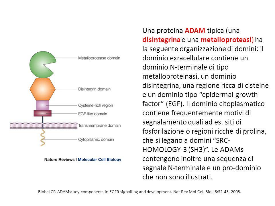 Una proteina ADAM tipica (una disintegrina e una metalloproteasi) ha la seguente organizzazione di domini: il dominio exracellulare contiene un dominio N-terminale di tipo metalloproteinasi, un dominio disintegrina, una regione ricca di cisteine e un dominio tipo epidermal growth factor (EGF).