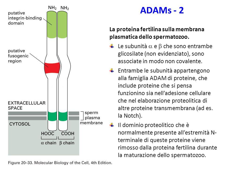 ADAMs - 2 La proteina fertilina sulla membrana plasmatica dello spermatozoo.