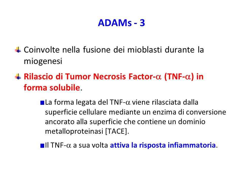 ADAMs - 3 Coinvolte nella fusione dei mioblasti durante la miogenesi Rilascio di Tumor Necrosis Factor-  (TNF-  ) in forma solubile.