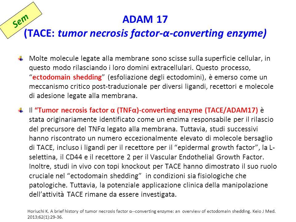 ADAM 17 (TACE: tumor necrosis factor-α-converting enzyme) Molte molecule legate alla membrane sono scisse sulla superficie cellular, in questo modo rilasciando i loro domini extracellulari.