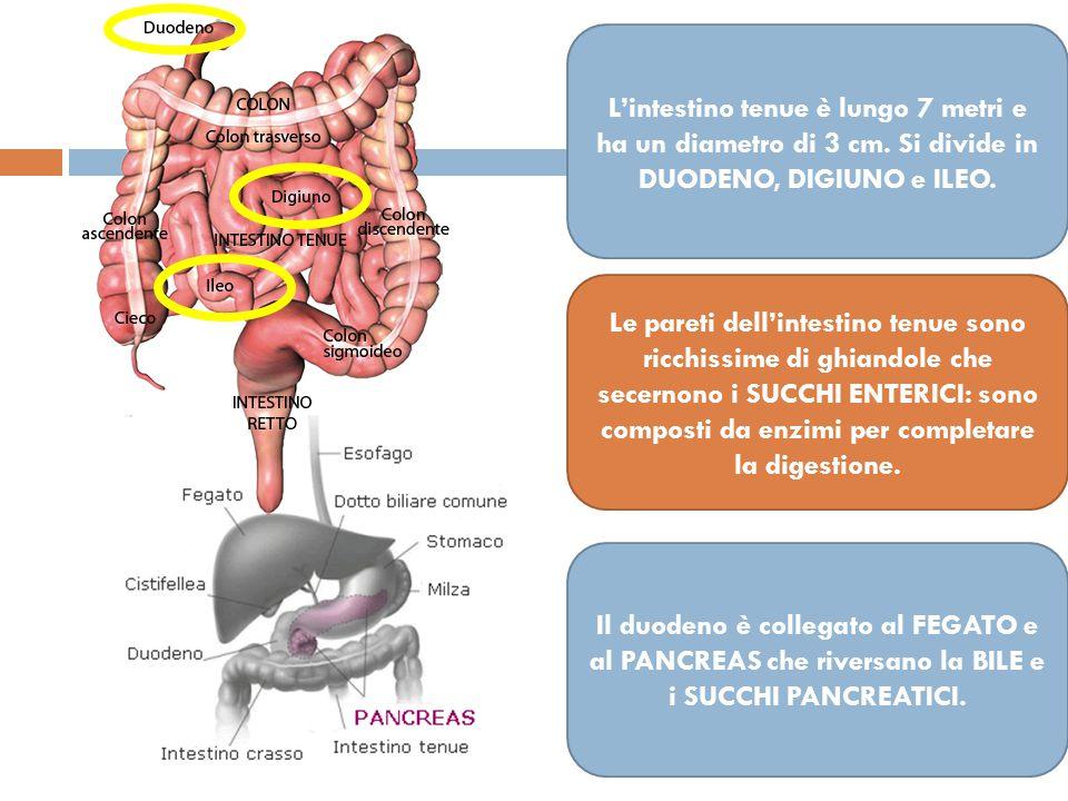 Il PANCREAS non è un organo ma una ghiandola, posta tra lo stomaco e l'intestino Produce il SUCCO PANCREATICO I SUCCHI sono composti da 3 enzimi: TRIPSINA LIPASI PANCREATICA AMILASI Altra funzione del pancreas: produce l'INSULINA, una sostanza chimica utilizzata dal fegato  se non ne produce abbastanza: DIABETE I SUCCHI VENGONO RIVERSATI NEL DUODENO ATTRAVERSO UN CANALE DETTO CONDOTTO PANCREATICO