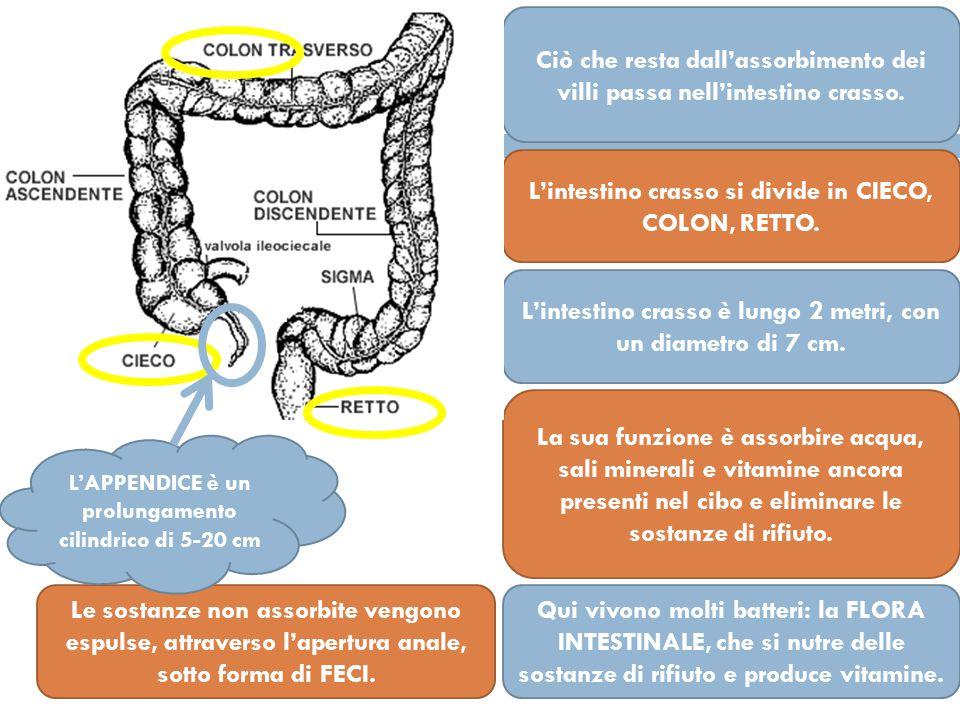 Ciò che resta dall'assorbimento dei villi passa nell'intestino crasso.