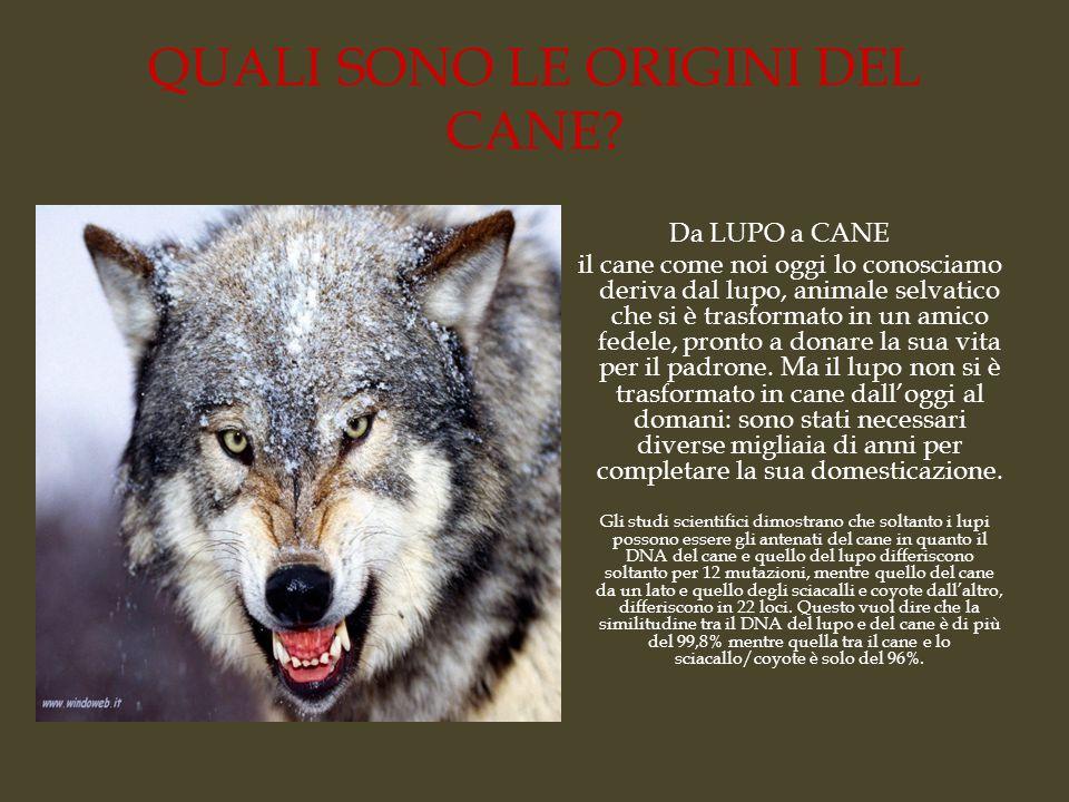 QUALI SONO LE ORIGINI DEL CANE? Da LUPO a CANE il cane come noi oggi lo conosciamo deriva dal lupo, animale selvatico che si è trasformato in un amico