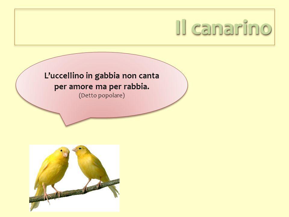Il canarino L'uccellino in gabbia non canta per amore ma per rabbia. (Detto popolare) L'uccellino in gabbia non canta per amore ma per rabbia. (Detto