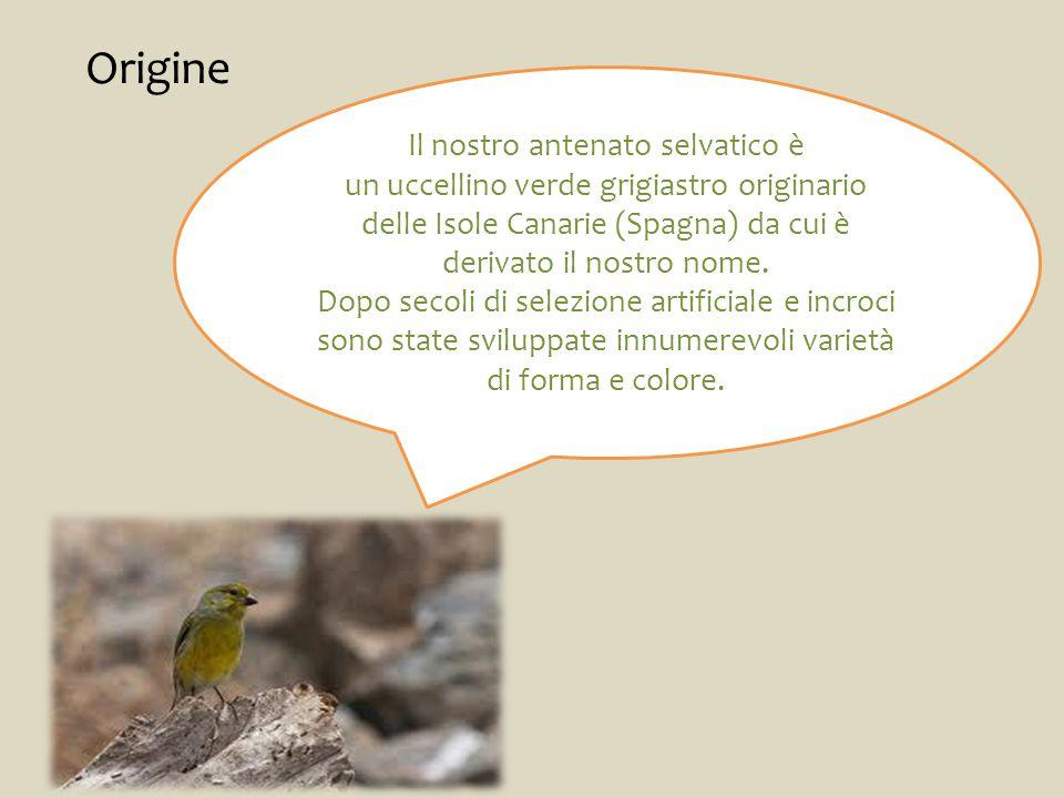 Origine Il nostro antenato selvatico è un uccellino verde grigiastro originario delle Isole Canarie (Spagna) da cui è derivato il nostro nome.
