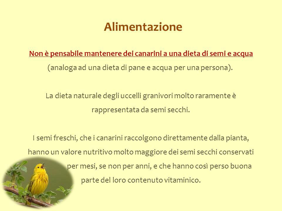 Alimentazione Non è pensabile mantenere dei canarini a una dieta di semi e acqua (analoga ad una dieta di pane e acqua per una persona). La dieta natu