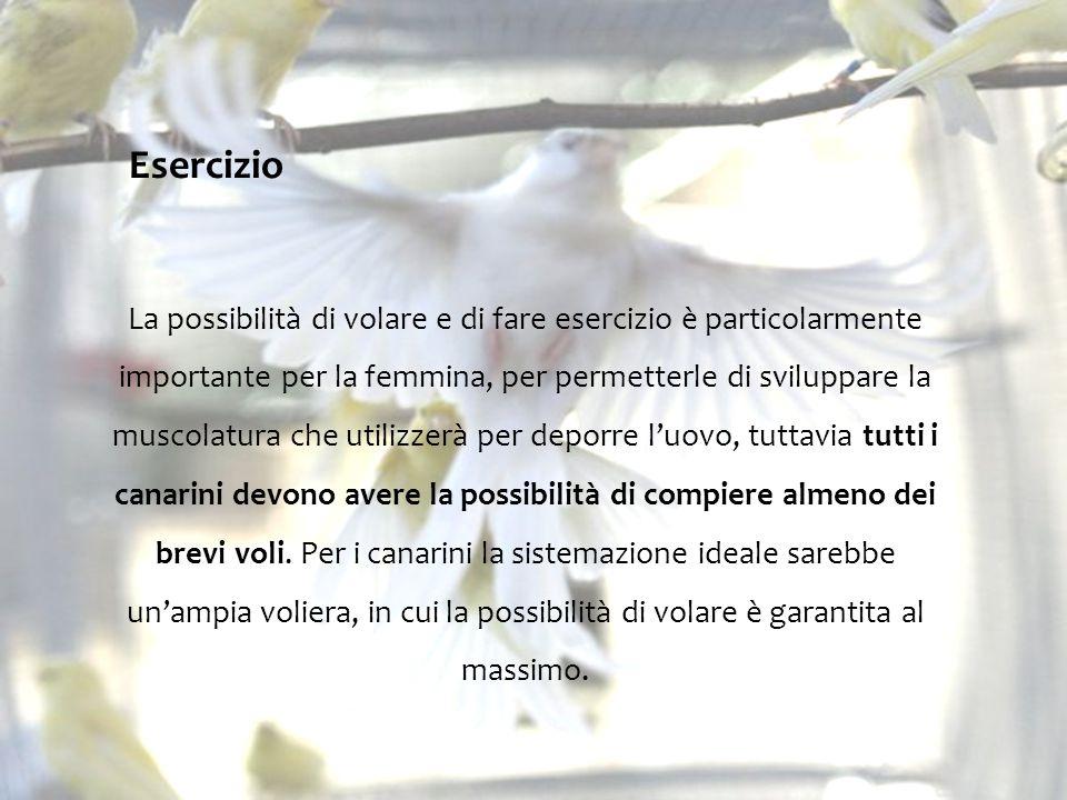 Esercizio La possibilità di volare e di fare esercizio è particolarmente importante per la femmina, per permetterle di sviluppare la muscolatura che utilizzerà per deporre l'uovo, tuttavia tutti i canarini devono avere la possibilità di compiere almeno dei brevi voli.