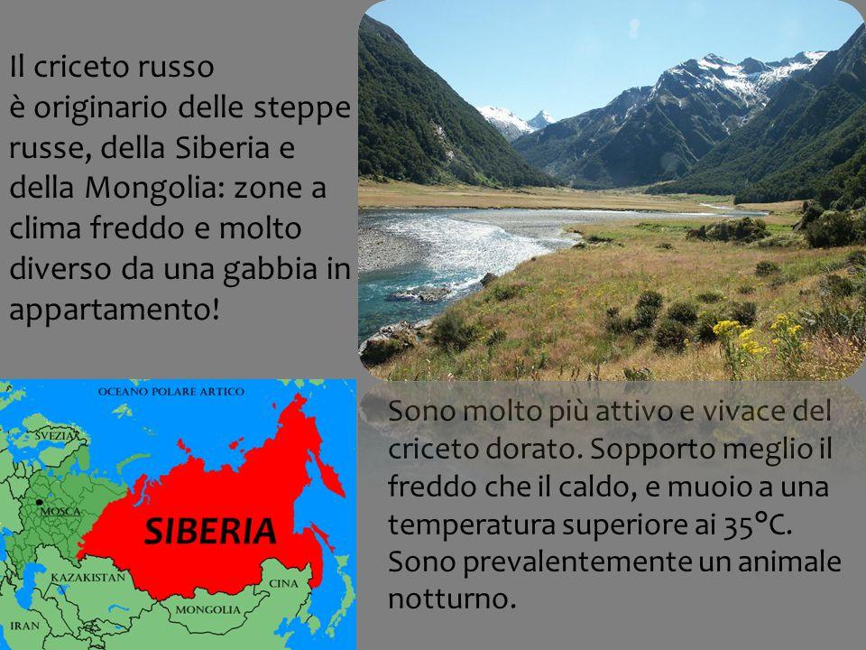 Il criceto russo è originario delle steppe russe, della Siberia e della Mongolia: zone a clima freddo e molto diverso da una gabbia in appartamento.
