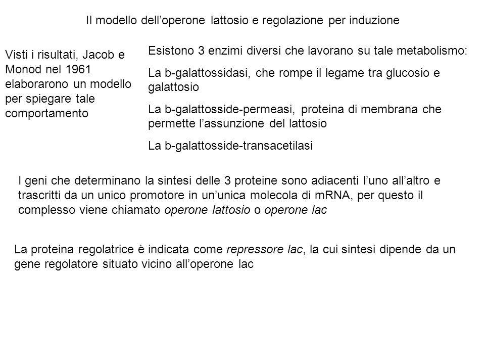 Il modello dell'operone lattosio e regolazione per induzione Visti i risultati, Jacob e Monod nel 1961 elaborarono un modello per spiegare tale compor