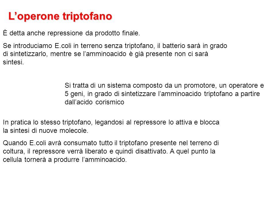 L'operone triptofano Si tratta di un sistema composto da un promotore, un operatore e 5 geni, in grado di sintetizzare l'amminoacido triptofano a part