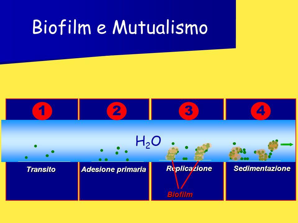 H2OH2O Transito Adesione primaria Replicazione Biofilm 123Sedimentazione 4 Biofilm e Mutualismo