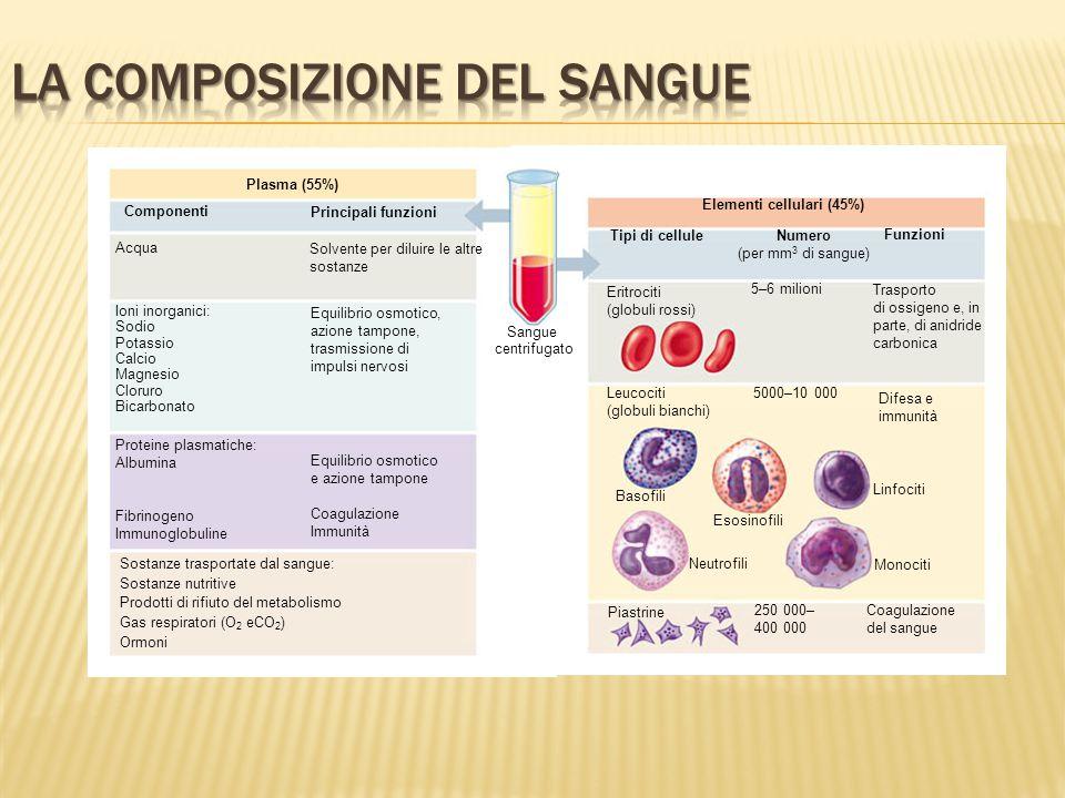 Elementi cellulari (45%) Tipi di cellule Numero (per mm 3 di sangue) Funzioni Eritrociti (globuli rossi) 5–6 milioni Trasporto di ossigeno e, in parte