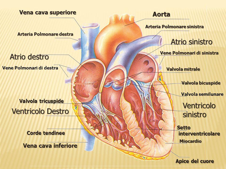 Vena cava inferiore Ventricolo Destro Atrio destro Vene Polmonari di destra Arteria Polmonare destra Vena cava superiore Corde tendinee Valvola tricus