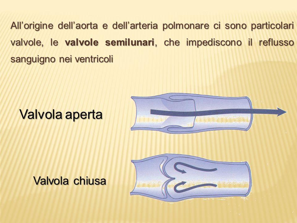 All'origine dell'aorta e dell'arteria polmonare ci sono particolari valvole, le valvole semilunari, che impediscono il reflusso sanguigno nei ventrico