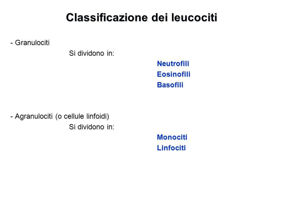 Classificazione dei leucociti - Granulociti Si dividono in: NeutrofiliEosinofiliBasofili - Agranulociti (o cellule linfoidi) Si dividono in: MonocitiL