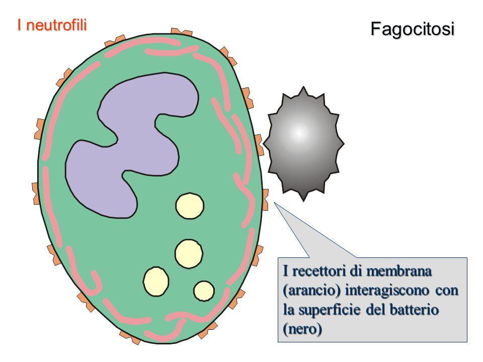 Fagocitosi I recettori di membrana (arancio) interagiscono con la superficie del batterio (nero) I neutrofili