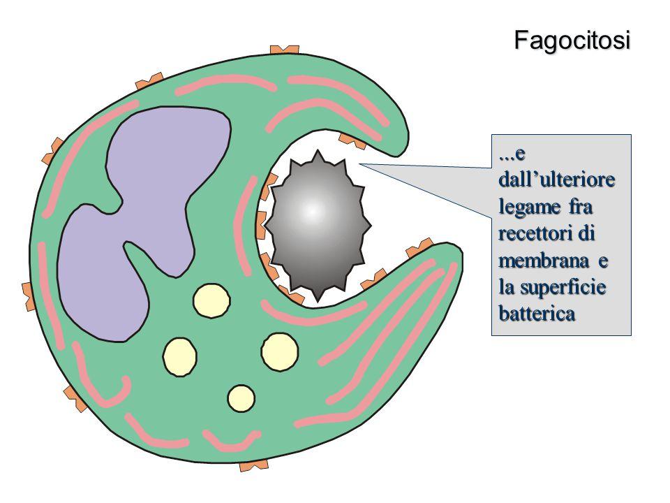 Fagocitosi...e dall'ulteriore legame fra recettori di membrana e la superficie batterica