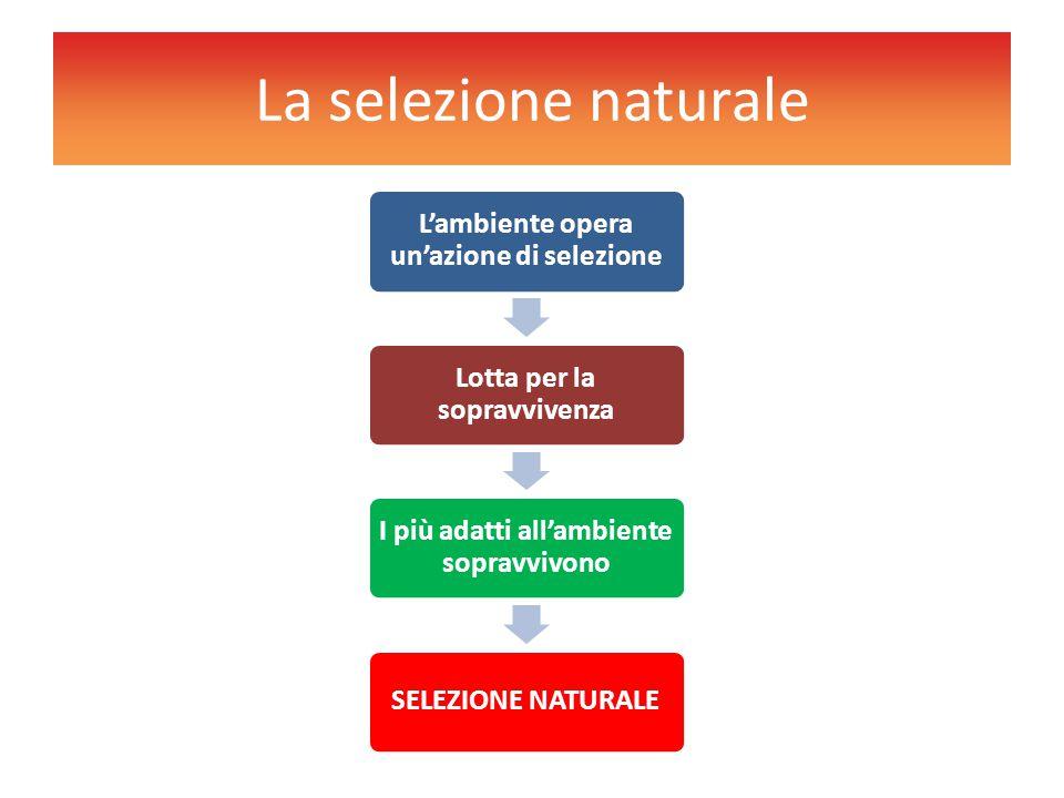 La selezione naturale L'ambiente opera un'azione di selezione Lotta per la sopravvivenza I più adatti all'ambiente sopravvivono SELEZIONE NATURALE