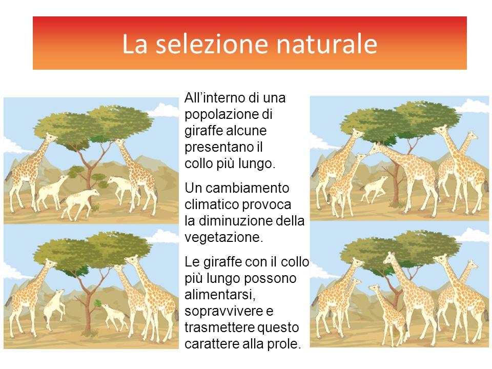 La selezione naturale All'interno di una popolazione di giraffe alcune presentano il collo più lungo. Un cambiamento climatico provoca la diminuzione
