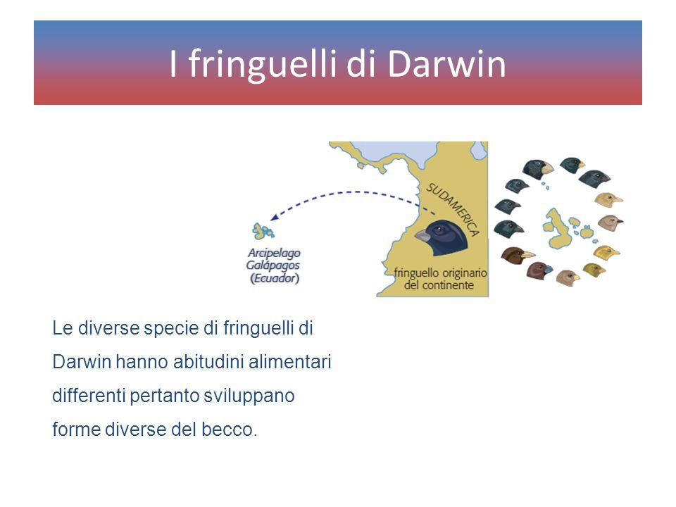 Le diverse specie di fringuelli di Darwin hanno abitudini alimentari differenti pertanto sviluppano forme diverse del becco. I fringuelli di Darwin