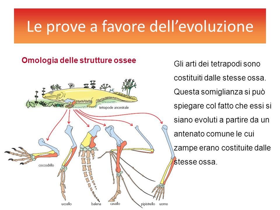 Le prove a favore dell'evoluzione Gli arti dei tetrapodi sono costituiti dalle stesse ossa. Questa somiglianza si può spiegare col fatto che essi si s