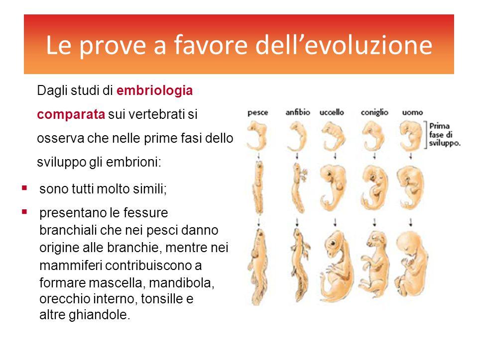 Le prove a favore dell'evoluzione Dagli studi di embriologia comparata sui vertebrati si osserva che nelle prime fasi dello sviluppo gli embrioni:  s