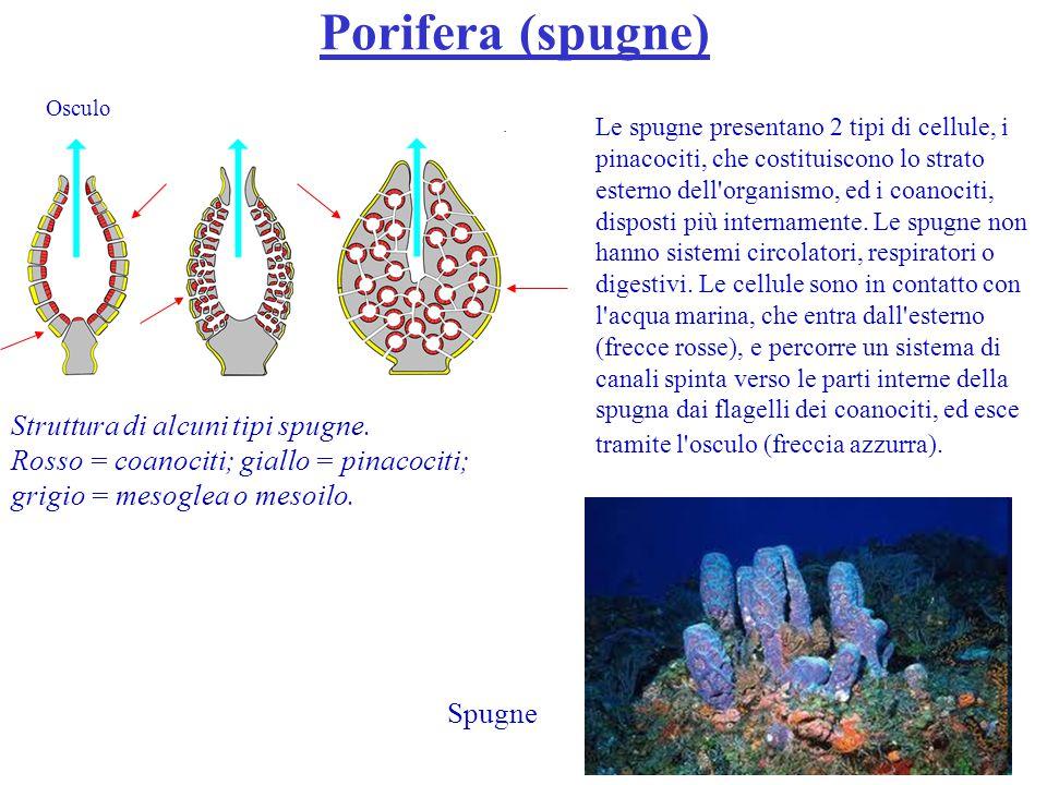 Cnidaria In Cnidaria (meduse e polipi) l organismo consiste di due strati di cellule, attaccate ad una membrana basale fibrosa con interposta la mesoglea.