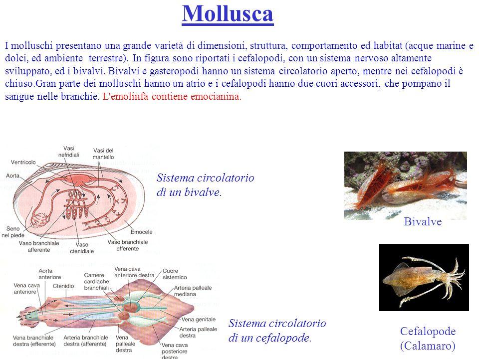 Anellidi Nel lombrico il sistema circolatorio è spesso chiuso, contenente pigmenti respiratori; vi sono parecchie coppie di cuori lungo i vasi sanguigni.