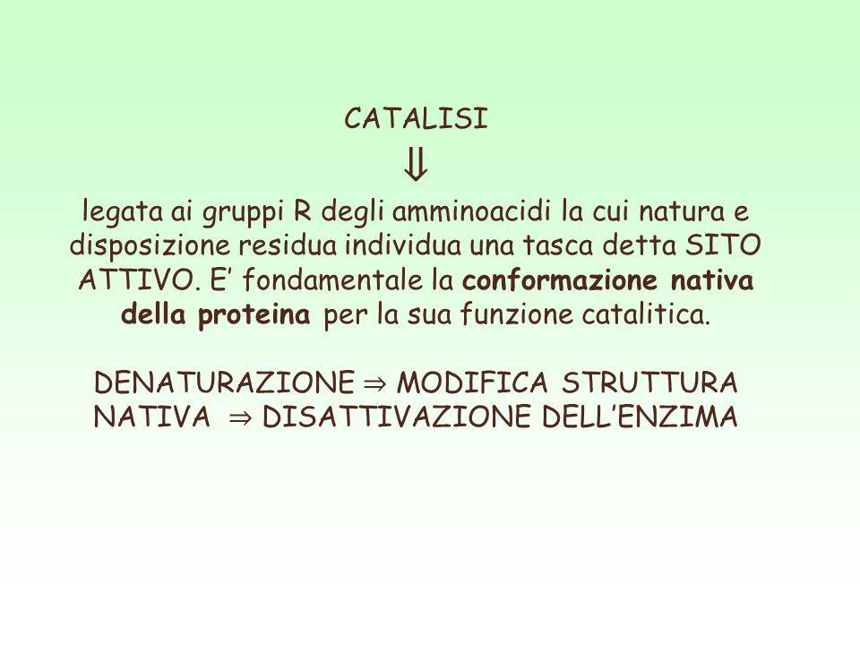 CATALISI ⇓ legata ai gruppi R degli amminoacidi la cui natura e disposizione residua individua una tasca detta SITO ATTIVO. E' fondamentale la conform