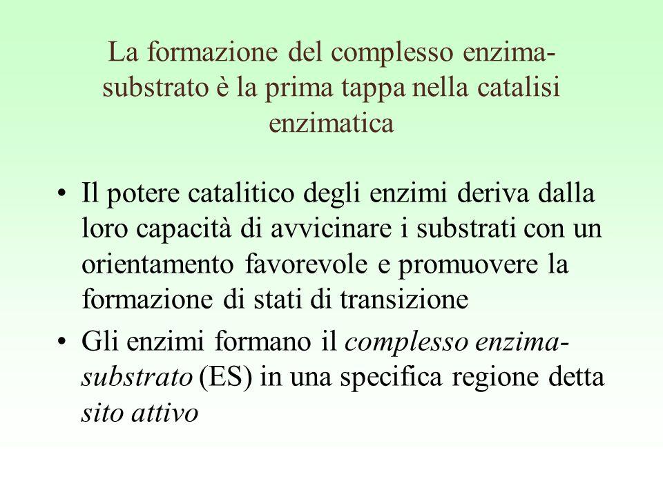 La formazione del complesso enzima- substrato è la prima tappa nella catalisi enzimatica Il potere catalitico degli enzimi deriva dalla loro capacità