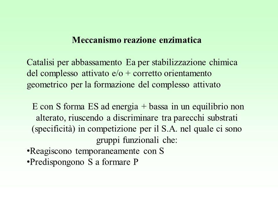 Meccanismo reazione enzimatica Catalisi per abbassamento Ea per stabilizzazione chimica del complesso attivato e/o + corretto orientamento geometrico