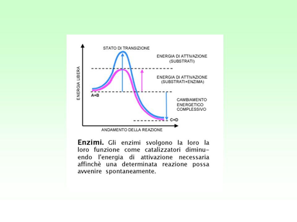 Equazione di Michaelis-Menten dove: costante di Michaelis-Menten Quando Vo= 1/2Vmax = Alla fine Vo = Vmax [S] Km + S Vmax [S] Km + S Vmax 2