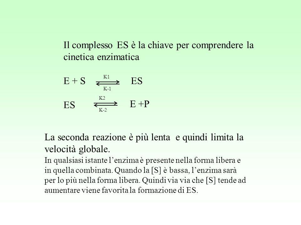 Il complesso ES è la chiave per comprendere la cinetica enzimatica E + S ES ES K1 K-1 K2 K-2 E +P La seconda reazione è più lenta e quindi limita la v