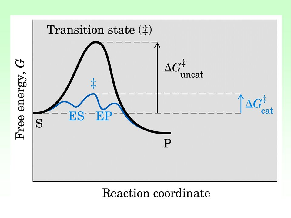 I gruppi catalitici di E interagendo con S lo preparano (attivano) alla reazione abbassando Ea.