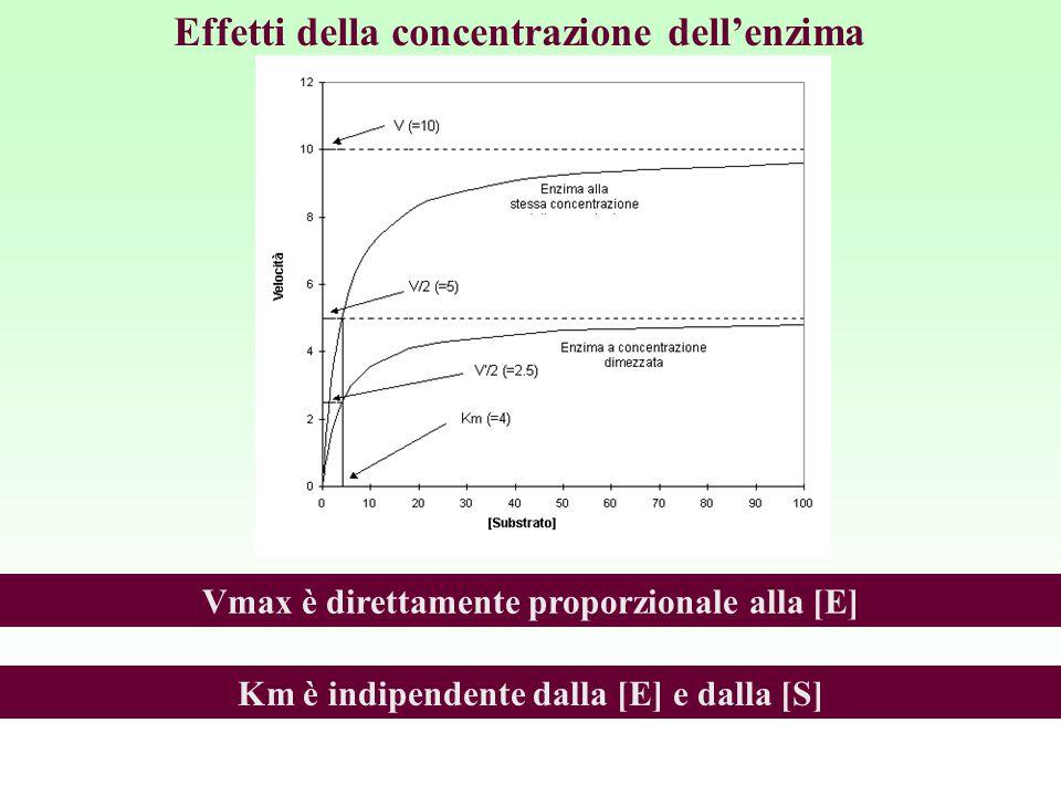Effetti della concentrazione dell'enzima Vmax è direttamente proporzionale alla [E] Km è indipendente dalla [E] e dalla [S]