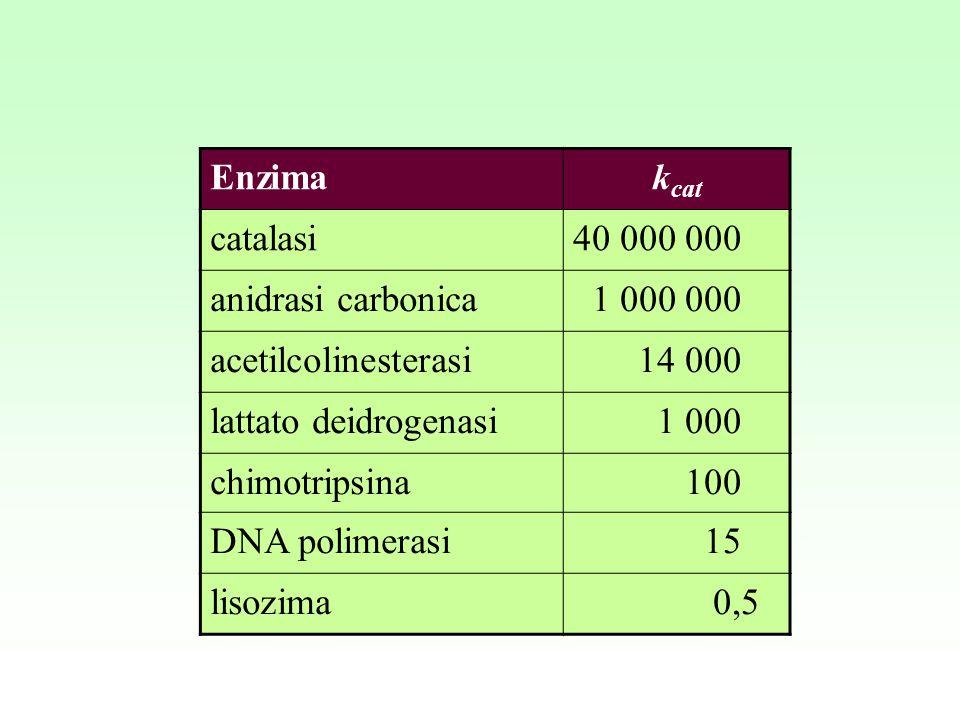 Enzimak cat catalasi40 000 000 anidrasi carbonica 1 000 000 acetilcolinesterasi 14 000 lattato deidrogenasi 1 000 chimotripsina 100 DNA polimerasi 15