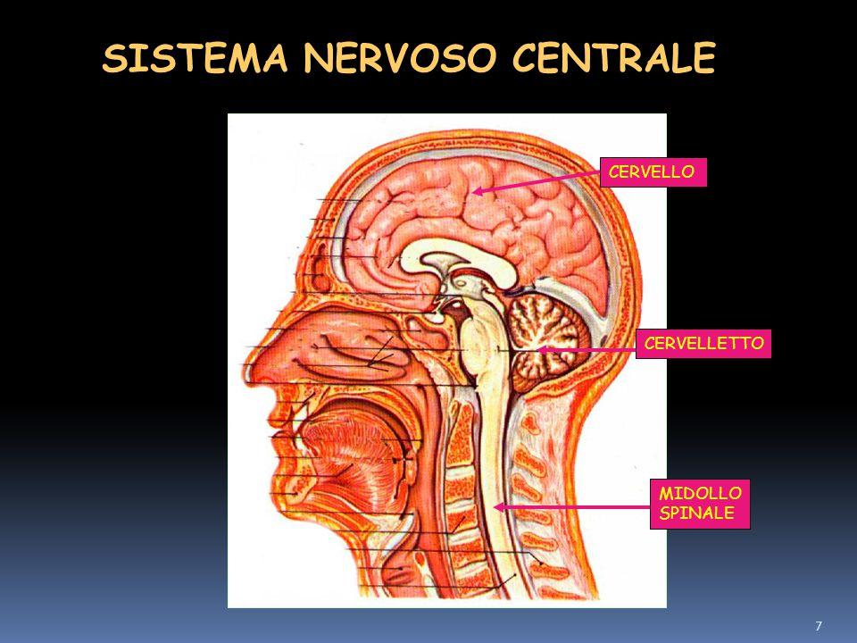 7 SISTEMA NERVOSO CENTRALE CERVELLO CERVELLETTO MIDOLLO SPINALE