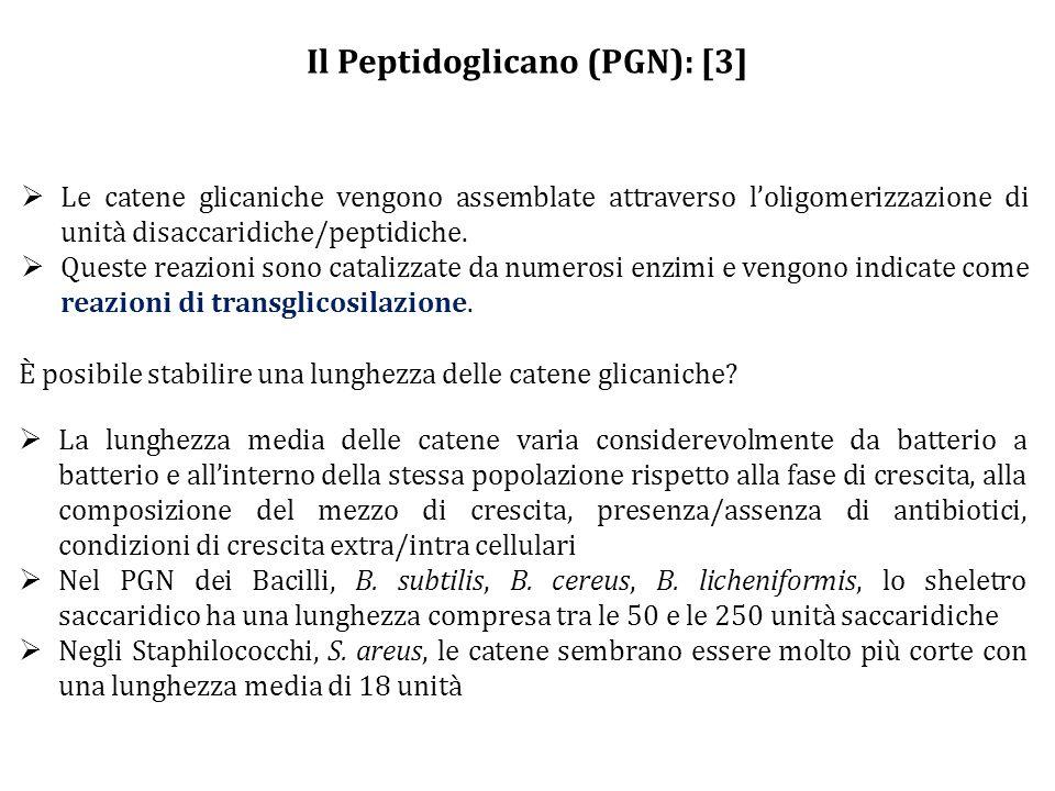 Il Peptidoglicano (PGN): [3]  Le catene glicaniche vengono assemblate attraverso l'oligomerizzazione di unità disaccaridiche/peptidiche.  Queste rea