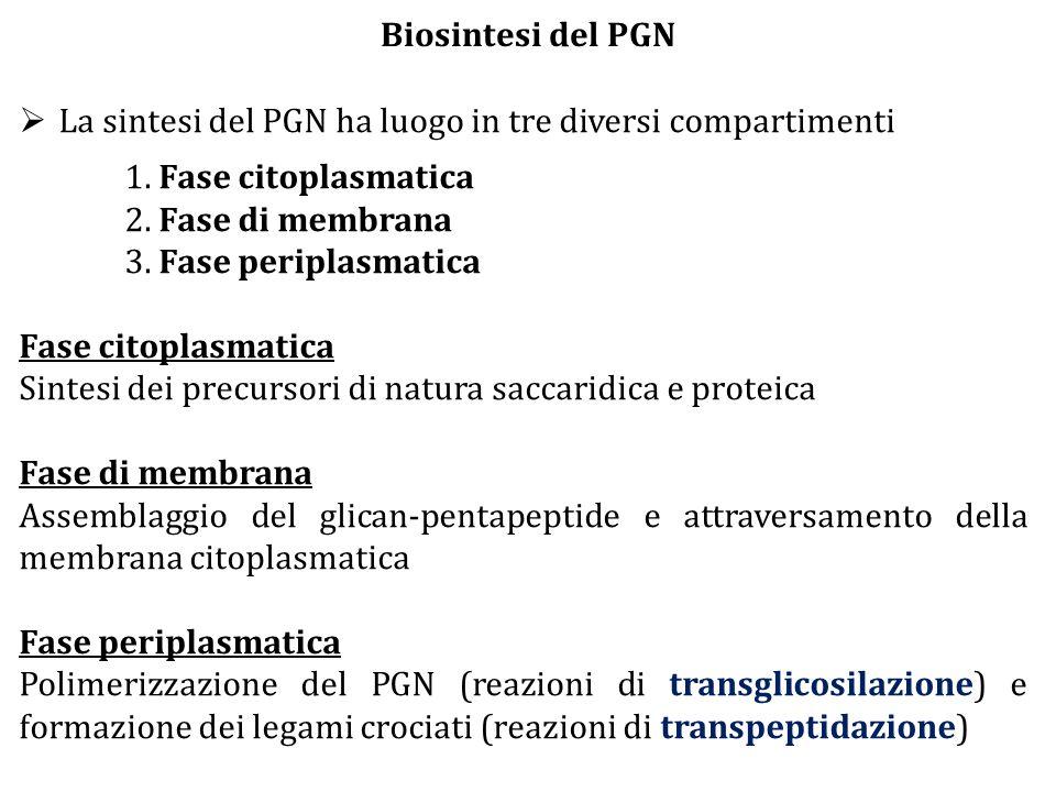  La sintesi del PGN ha luogo in tre diversi compartimenti 1. Fase citoplasmatica 2. Fase di membrana 3. Fase periplasmatica Fase citoplasmatica Sinte