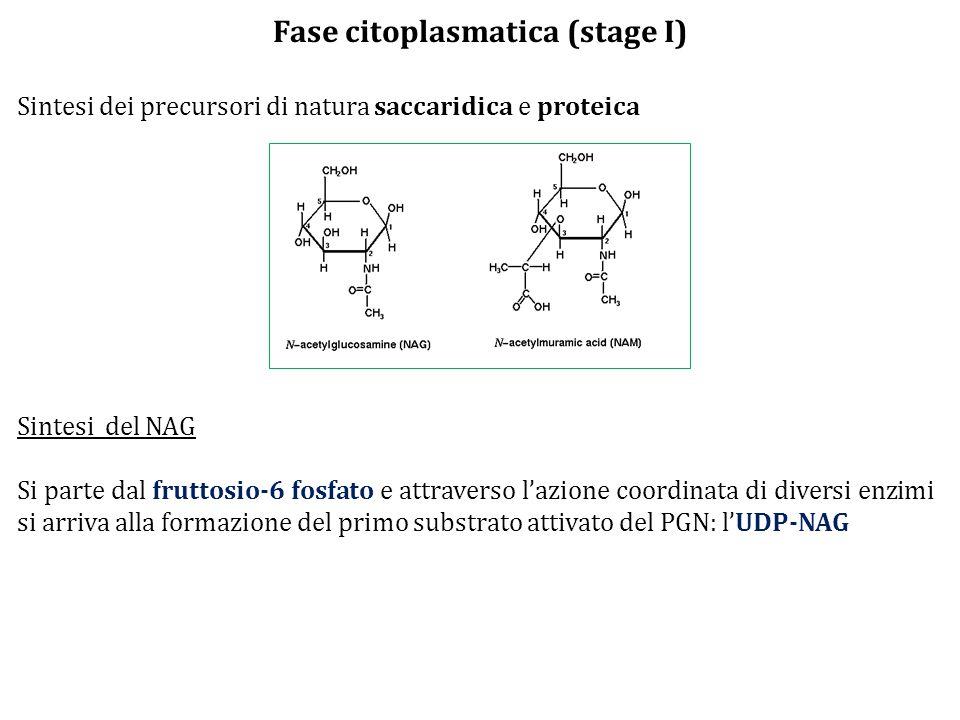 Fase citoplasmatica (stage I) Sintesi dei precursori di natura saccaridica e proteica Sintesi del NAG Si parte dal fruttosio-6 fosfato e attraverso l'azione coordinata di diversi enzimi si arriva alla formazione del primo substrato attivato del PGN: l'UDP-NAG