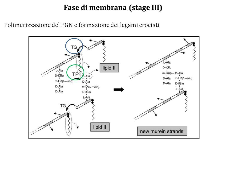Fase di membrana (stage III) Polimerizzazione del PGN e formazione dei legami crociati